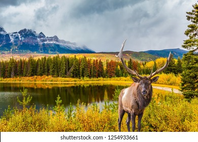 Gorgeous deer with horns grazing on the lake in Rocky Mountains, Canada. The valley along the Road 91A -  lake surrounded by scenic forests. Concept of ecological, active and photo-tourism