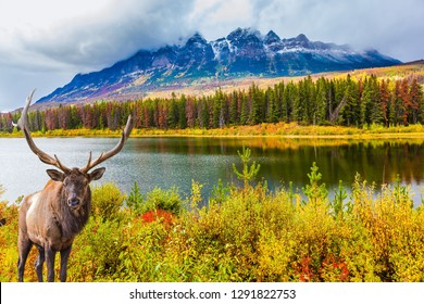 Gorgeous deer with horns grazing on the lake. The Rocky Mountains, Canada. The valley along the Road 91A -  lake surrounded by scenic forests. Concept of ecological, active and photo-tourism