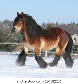 Gorgeous dutch draught horse with long mane running in the snow in winter