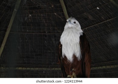 Gorgeous eagle with white and brown feather inside the cage which belong to endangered wild animal