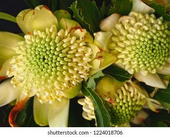 Gorgeous Exotic White Waratahs in Flourishing Bloom.