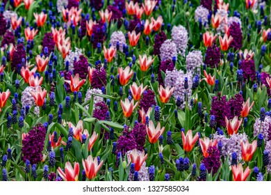 Gorgeous Field of Red and White Tulips with Purple, Lavender, and Grape Hyacinths outside of Amsterdam, Netherlands