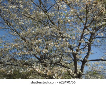 A gorgeous flowering tree in East Tennessee, USA. White blossoms on a bright and sunny day.