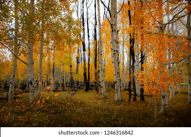 Gorgeous forest of birch and aspen trees with bright vivid autumn leaf color during the day.