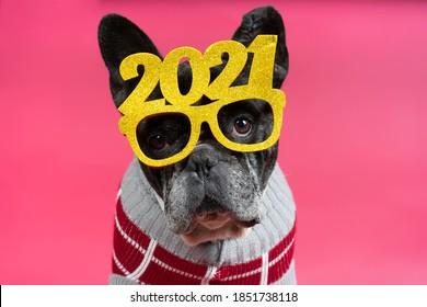 Gorgeous French bulldog dog with festive glasses 2021. Happy new year