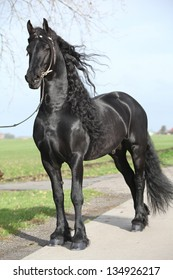 Gorgeous friesian stallion with long hair and white bridle