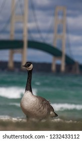 Gorgeous goose posing in front of Lake Michigan and makinack bridge in Michigan