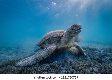 Gorgeous Green Sea Turtle during morning snack. Amazing underwater shot in beautiful light, early in the morning. Very precious sea animal. Calm, relaxing and majestic.