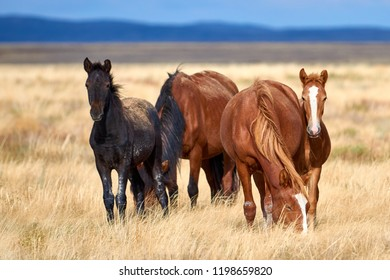 Gorgeous horses  and foal grazing at dried steppe in Asia.