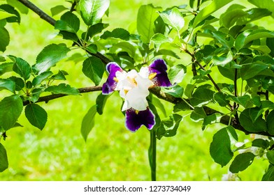 Gorgeous Iris flower white purple violet blooming bud in front of apple tree branch. Iris is a genus of flowering plants with showy flowers.