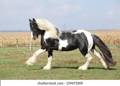 Gorgeous irish cob stallion with long flying mane running on pasturage
