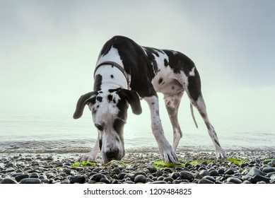 Gorgeous large breed harlequin great dane dog sniffing a rocky beach with green seaweed.