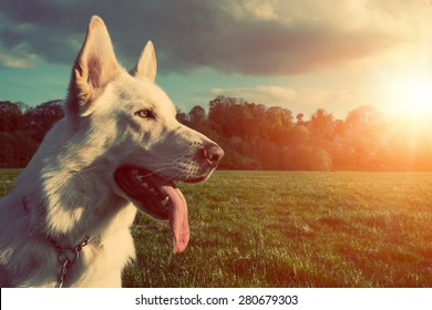 Gorgeous large white dog in a park, colorised image