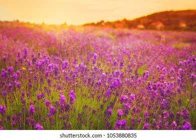 Gorgeous lavender field in the early morning