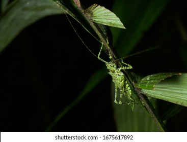 A gorgeous lichen mimic katydid perched on a stem in the rainforest of Costa Rica.