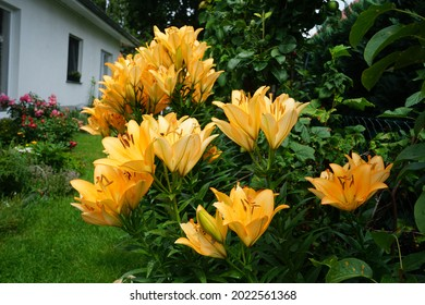 Gorgeous light orange lilies bloom in the garden in July. Lilium, true lilies, is a genus of herbaceous flowering plants growing from bulbs, all with large prominent flowers. Berlin, Germany