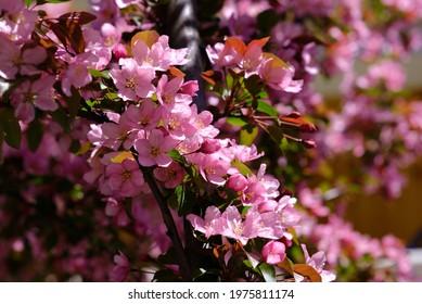 Gorgeous light pink blossoms of a crabapple (Malus floribunda) in bloom in spring in a Glebe garden, Ottawa, Ontario, Canada.