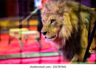 Gorgeous lion in circus arena