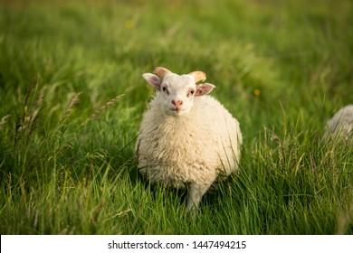 Gorgeous little lamb in green grass