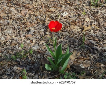 A gorgeous lone red tulip among a patch of fallen leaves. East Tennessee, USA.