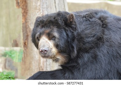 A gorgeous look at an American Black Bear.