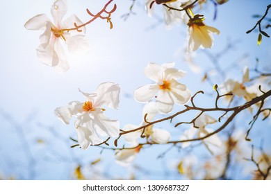 Gorgeous lush magnolia flowers in sunlight against blue sky. Abstract seasonal background. Concept of the ecology. Scenic image of flowering orchard in spring time. Botanical garden. Beauty of earth.