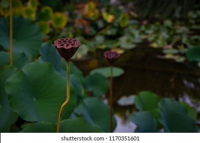 Gorgeous moody view of a pond with multiple water lily seed pods in a garden.