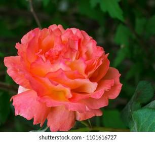 Gorgeous orange rose in garden setting agaist green leaves