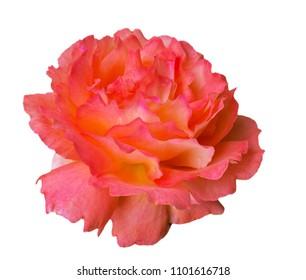 Gorgeous orange rose isolated