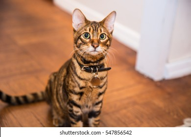 gorgeous orange striped toyger kitten sitting on wood floor - tiger cat with collar in living room interior