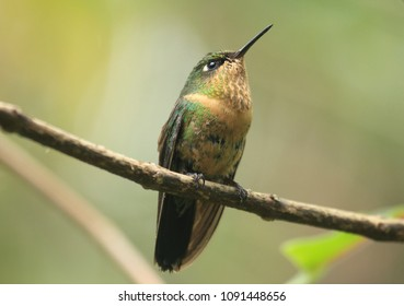 Gorgeous Orange throated Sunangel Heliangelus mavors female hummingbird perched in the moist montane forest. Species is only found in Colombia and Venezuela