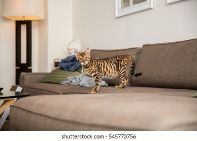 gorgeous orange toyger kitten standing on couch - sofa in living room - striped cat staring in fear