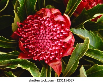Gorgeous Ornate New South Wales Waratah in Spectacular Cadmium Red with Contrasting Lush Green Leaves.