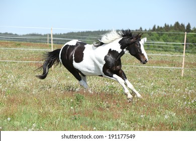 Gorgeous paint horse running on flowered spring pasturage