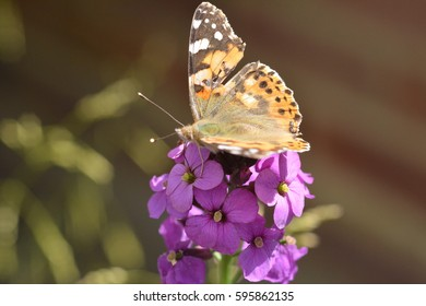 A gorgeous painted lady butterfly on pink Spring flowers