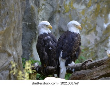 Gorgeous pair of sleeping Americna Bald Eagles in a perch.