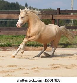 Gorgeous palomino stallion running on the sand