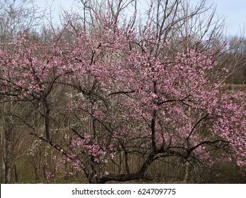 Gorgeous peach trees blooming in early spring on farm land in East Tennessee, USA.