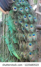 Gorgeous peacock with beautiful feather in a green tosca, black, and blue color is standing by in the zoo