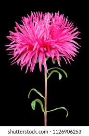 Gorgeous Pink Aster on Black Background