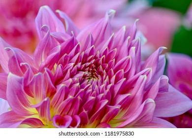 Gorgeous pink dahlia in full bloom, closeup