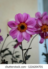 Gorgeous pink Dahlia Mistic