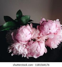 Gorgeous pink peony flowers in full bloom