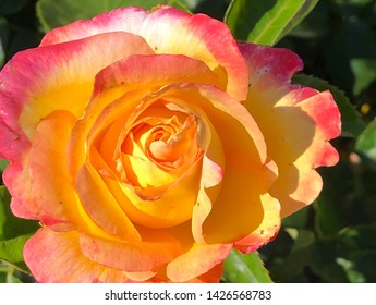 Gorgeous pink and yellow rose blossom