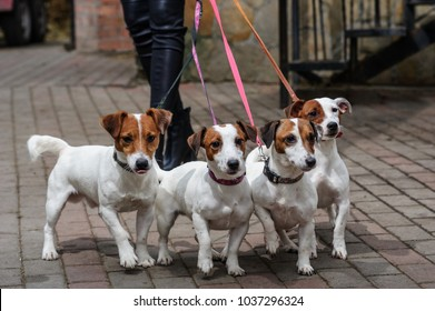 Gorgeous puppies of Jack Russell Terrier in the garden.