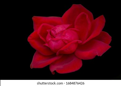 Gorgeous purple rose, isolate on a black background