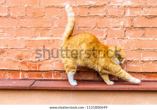 A gorgeous red cat elegantly curves back and tail against a red brick wall, close-up