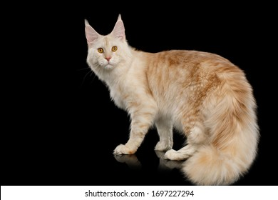Gorgeous Red Maine Coon Cat Crouching Isolated on Black Background