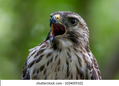Gorgeous Red-shouldered Hawk