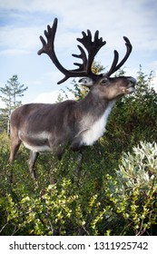 Gorgeous reindeer eating dwarf birch in the Pallas-Yllästunturi wilderness